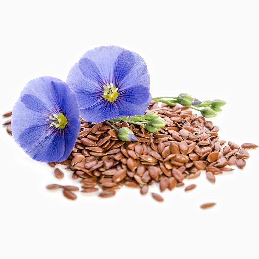 fleurs de lin avec graines